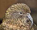 Nestor notabilis -Otorohanga Bird Park, Waikato, New Zealand-8.jpg