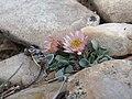 Nevada grounddaisy, Townsendia scapigera (15721628446).jpg