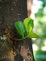 New Jackfruit Tree leaves.JPG