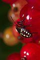 Nezara viridula 3 instar nymph 05.jpg