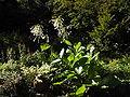Nicotiana sylvestris 001.JPG