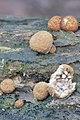 Nidularia deformis 91997866.jpg