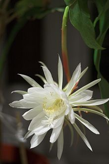 Night Blooming Cereus.jpg