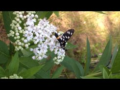 Податотека:Nine-spotted moth (Amata phegea) on a flower.webm