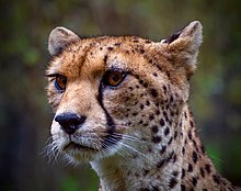 NorthWest African Cheetah (14846381095).jpg