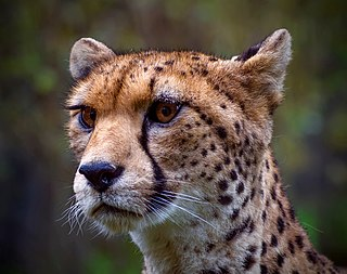 Northwest African cheetah subspecies of the cheetah