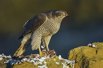 Northern goshawk - Northern goshawks most often preys on birds, especially in Eurasia.