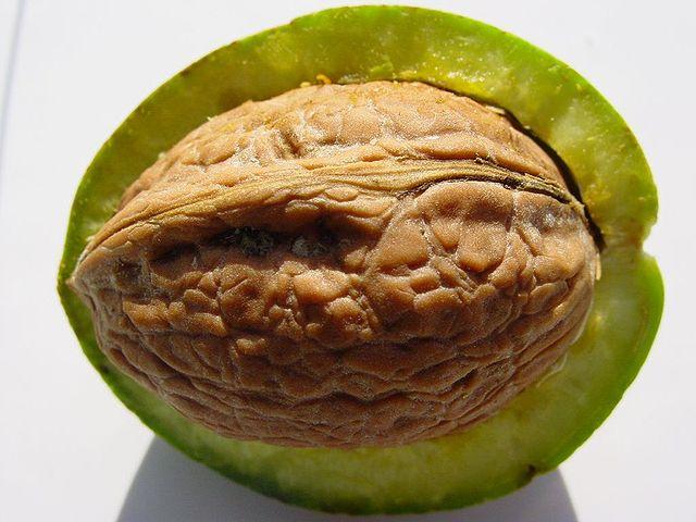 Vlašský orech je kôstkovica s vysychajúcim oplodím