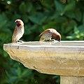 Nutmeg Mannikins at the bird bath (9767794201).jpg
