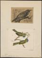 Nyctiornis athertoni - 1700-1880 - Print - Iconographia Zoologica - Special Collections University of Amsterdam - UBA01 IZ16800293.tif