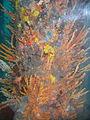 OIC busselton marine life under busselton jetty 1.jpg