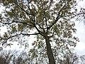 Oak (31120164732).jpg