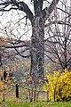 Oak 1 Дуб.jpg