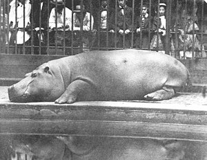 Obaysch - Crowds look on as Obaysch rests in the London Zoo in this 1852 photograph taken by Juan, Count of Montizón.