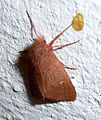 Ocneria rubea. Noctuidae (5191308781).jpg