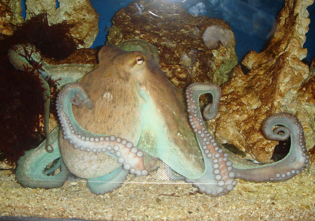 TIL an octopus named Otto caused an aquarium power outage by climbing to the edge of his tank and shooting a jet of water at a bright light that was annoying him. He's also been seen juggling hermit crabs, throwing rocks at the glass and re-arranging his