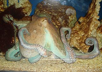 Cephalopod intelligence - An octopus in a zoo.