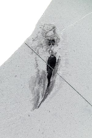 Odontogriphus - Image: Odontogriphus ROM61515