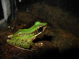 Hose's frog - Image: Odorrana hosii