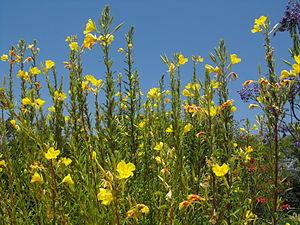 Oenothera elata - Image: Oenotherahookeri 3