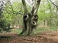 Old Beech tree - geograph.org.uk - 1259438.jpg