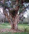 Old Eucalyptus Tree 2-9-13 (8536511045).jpg