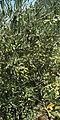 Olive tree in Crete.jpg