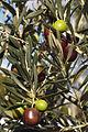 Olives (UOVO PICCIONE) Cl J Weber (3) (23158682462).jpg