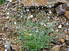 Omphalodes linifolia Habitus 2011-4-24 RioMontoro SierraMadrona