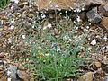 Omphalodes linifolia Habitus 2011-4-24 RioMontoro SierraMadrona.jpg