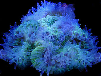 English: An open brain coral under actinic lig...