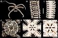 Ophiactis savignyi (zookeys.406.6306) 01.jpg