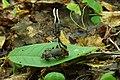 Ophiocordyceps entomorrhiza.jpg