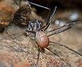 Opiliones, Dyspnoi, F. Sabaconidae, Sabacon cf. cavicolens (3680466276).jpg