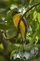 Orange-breasted Trogon - Thailand S4E7759 (16120208018).jpg