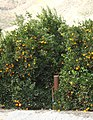 Oranges and Smudge Pot, San Timoteo Canyon, Redlands, CA 2-2012 (6882298299).jpg