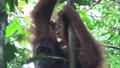OrangutanMladicInMama.png