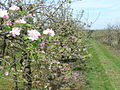 Orchard, Farleigh Green - geograph.org.uk - 779760.jpg