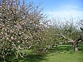 Orchard West of Loose - geograph.org.uk - 780694.jpg