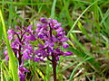 Orchis mascula (3).JPG