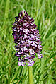 Orchis pourpre FR 2013.jpg