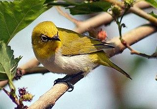 Indian white-eye Species of bird