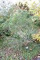 Osmanthus delavayi - Quarryhill Botanical Garden - DSC03348.JPG