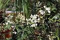 Osteomeles schwerinae (Rosaceae) (27333685731).jpg