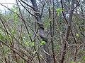 Ostrya carpinifolia (river Tagliamento - Italy) - strange form.jpg