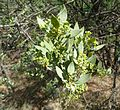 Osyris lanceolata, in blom, b, Pretoria NBT.jpg