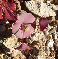 Oxytheca perfoliata 4
