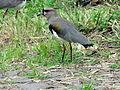 Pássaro em Santa Maria do Herval 004.JPG