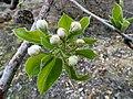 P1080504-Prunus dulcis (41443692475).jpg