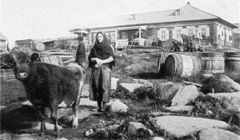 P161a At Karaulnoye - the northernmost cow.jpg